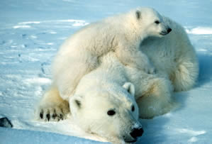 During the week when federal scientists predicted two-thirds of all polar bears would die out within decades due to shrinking summer ice cover, the Arctic cap continued the astounding meltdown into record territory.